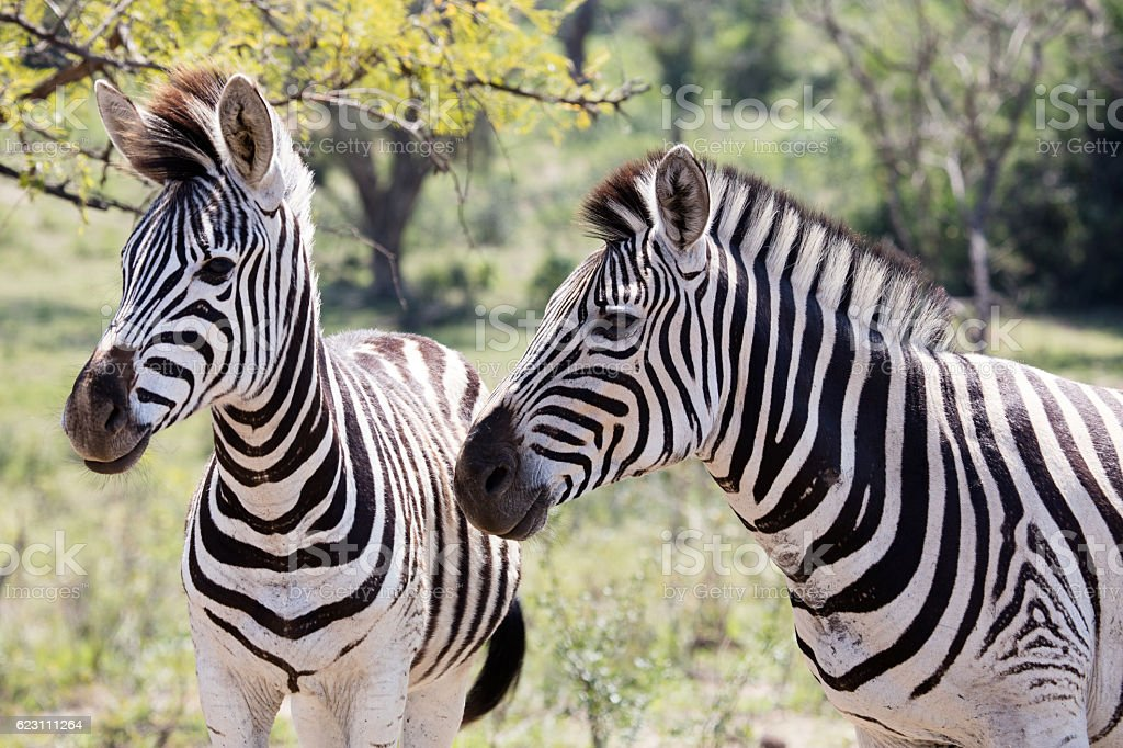 Two zebra in South Africa stock photo
