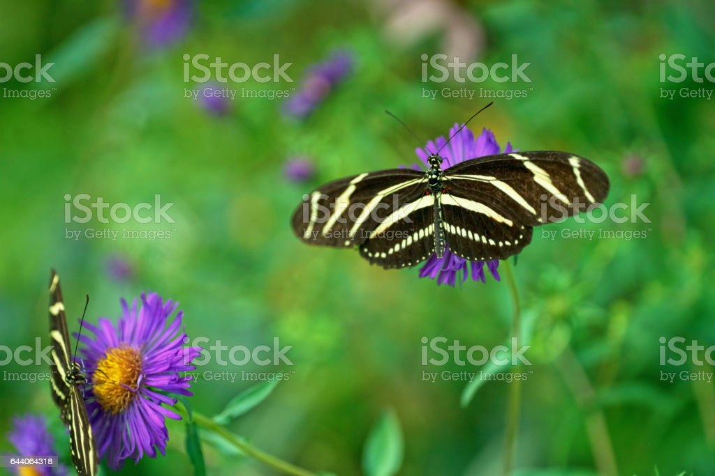 Two Zebra Longwing Butterflies stock photo