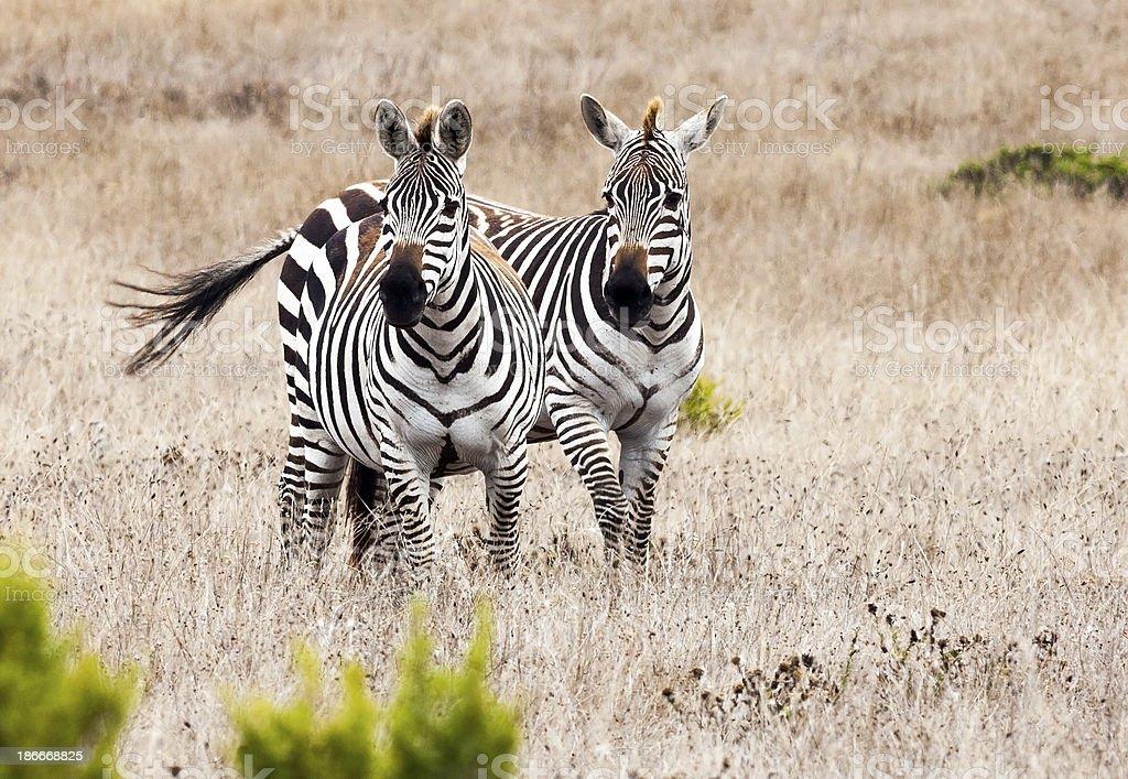 Two Zebras Facing Camera stock photo