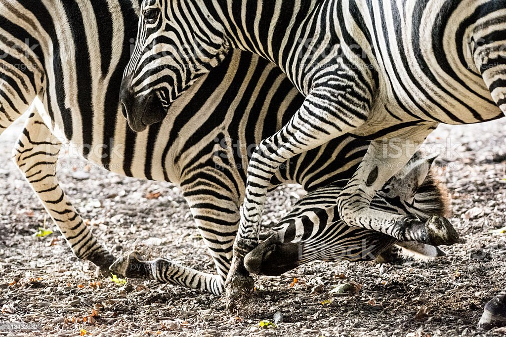 Two zebras fighting stock photo