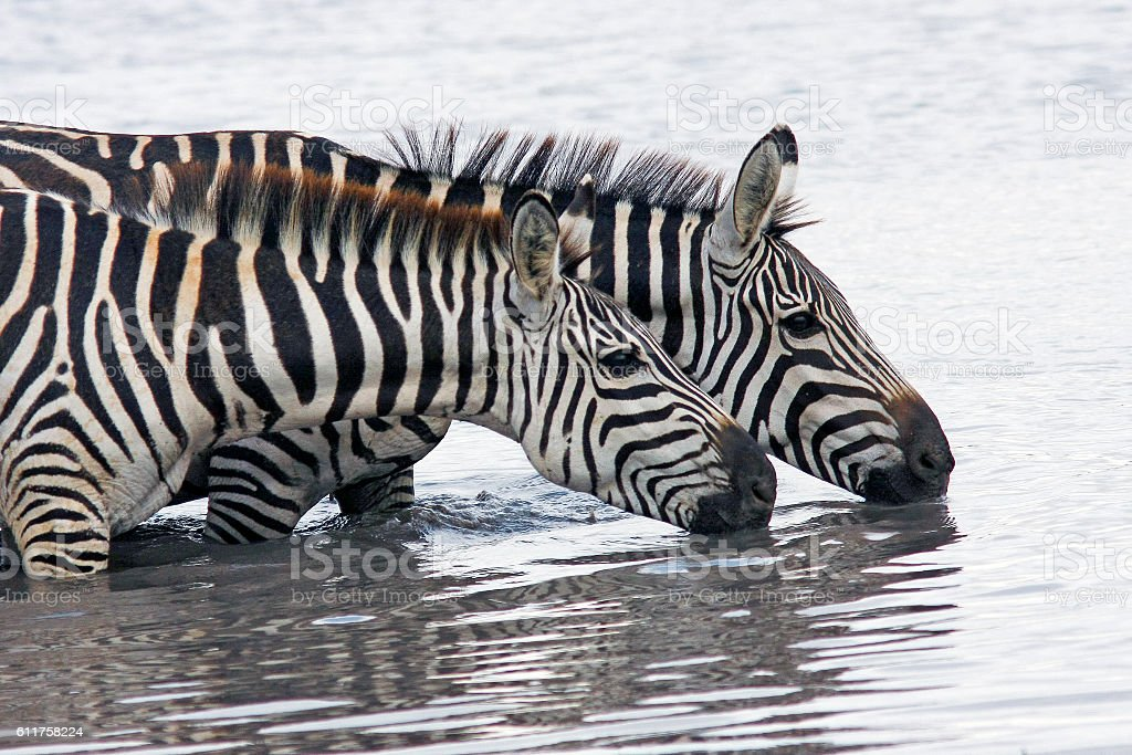 two zebras gracefully bending over the river and drinking water stock photo