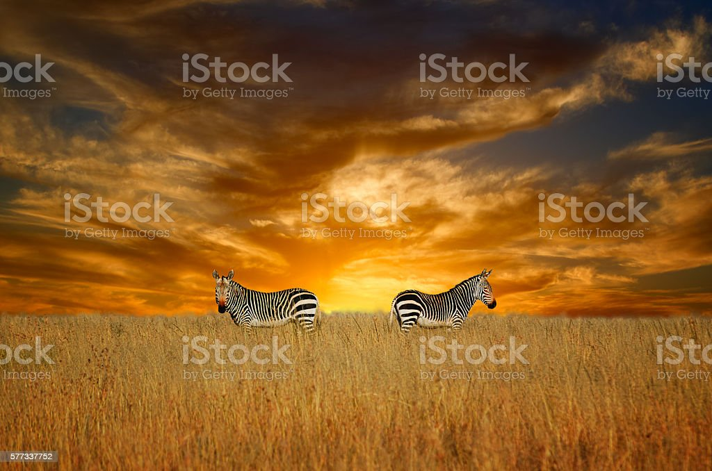 Two zebras in nice, dramatic evening light as background stock photo