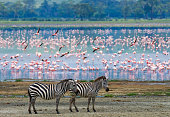 Two zebras in the background flamingo.
