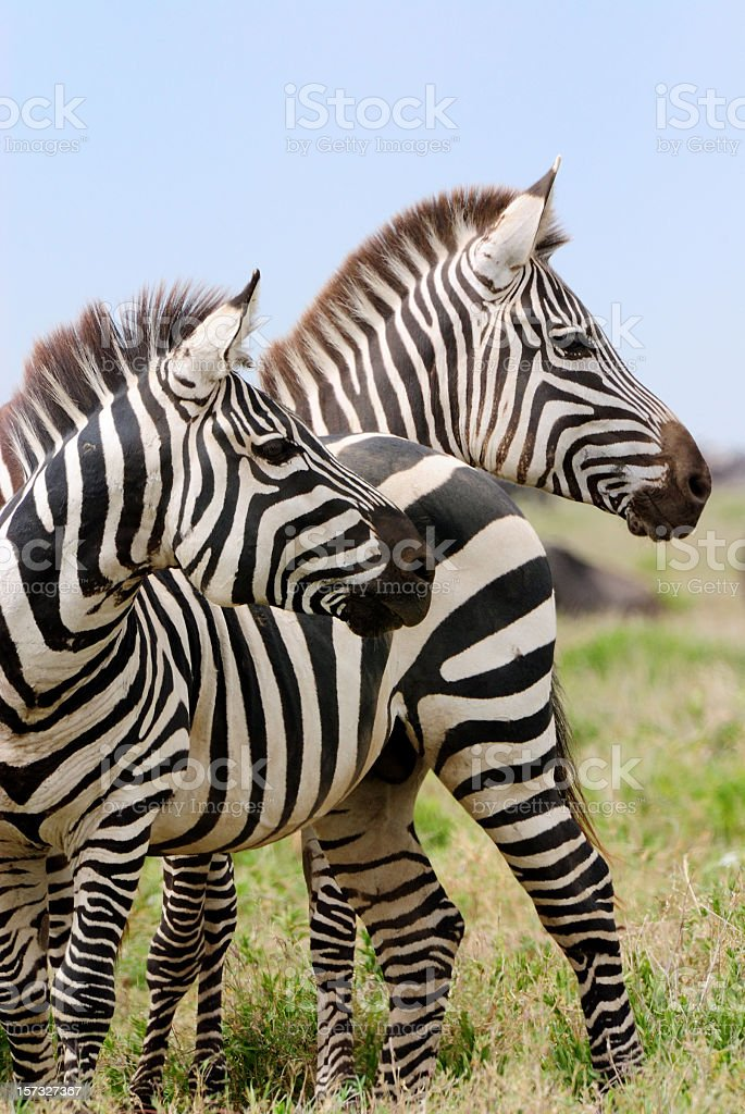 Two zebras in the savanna in Africa stock photo