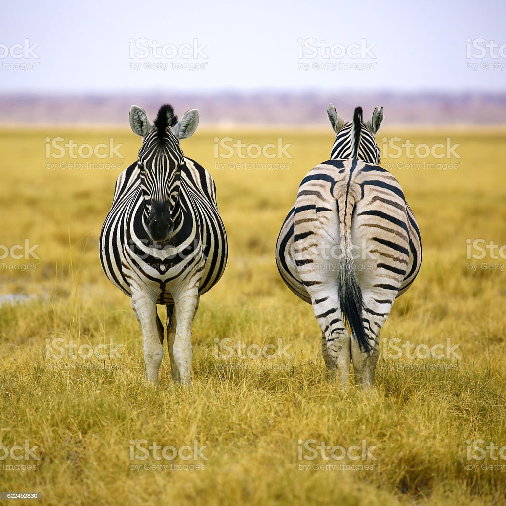 Two zebras of Etosha NP in square composition stock photo