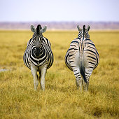 Two zebras of Etosha NP in square composition