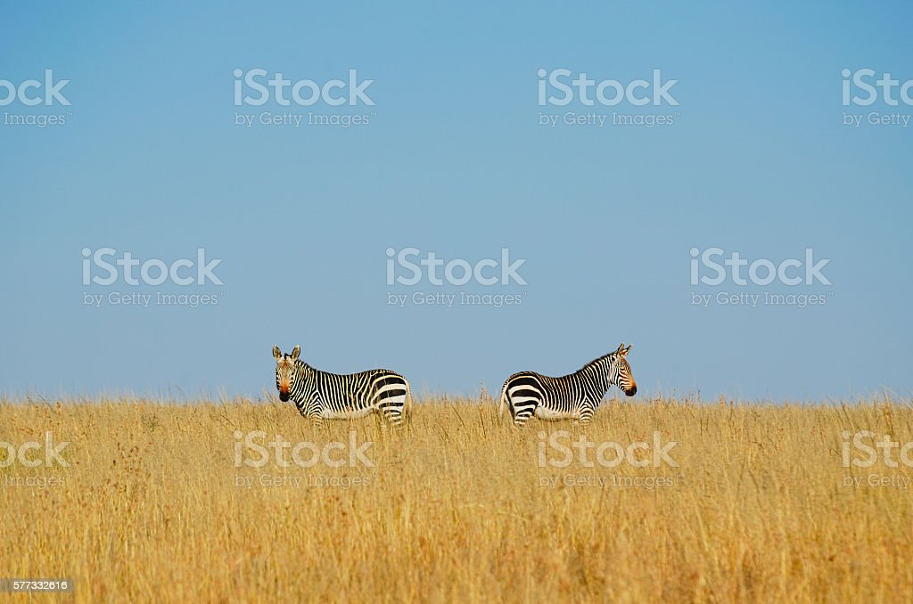 Two zebras on blue sky background and golden color grasses stock photo