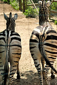 Two zebras rear view looking in the front
