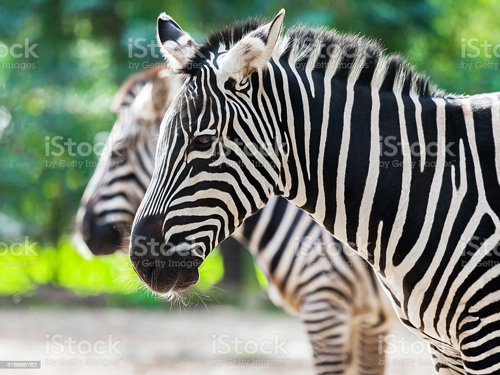 two zebras standing together stock photo