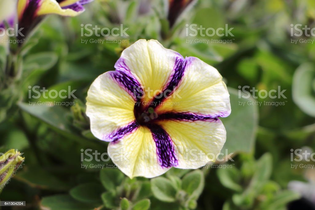 Two-color Petunia flower in a garden stock photo