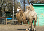 Two-humped camel in a zoo.