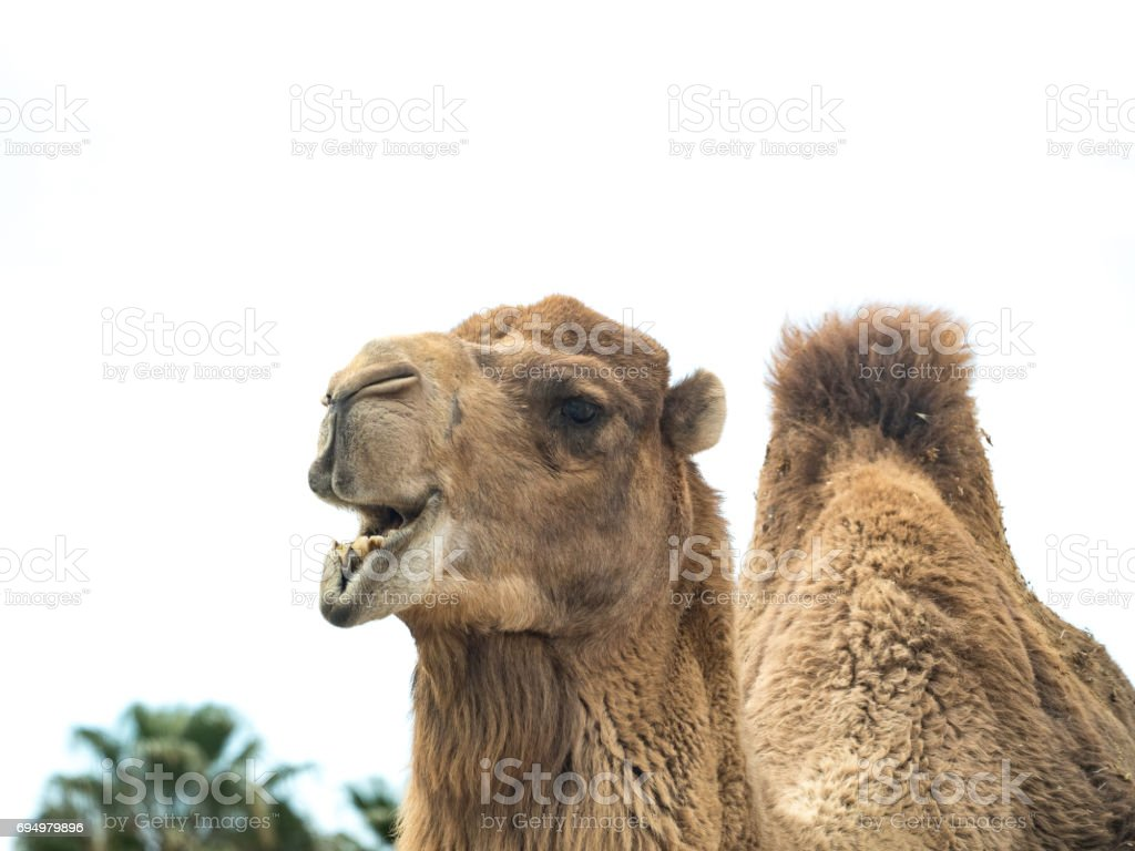 Two-humped camel (Camelus bactrianus) with funny expression isolated on white background stock photo