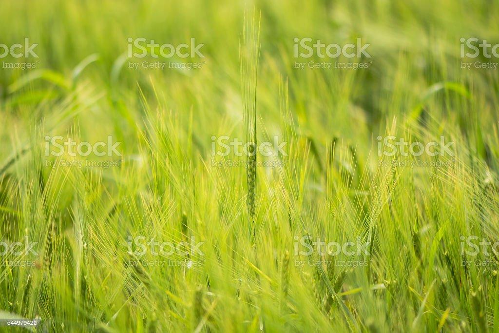 Two-row barley (Hordeum vulgare) growing in field stock photo