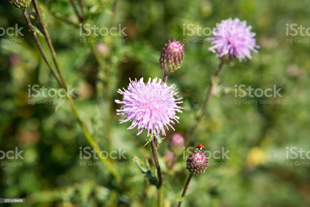 Two-spotted lady beetle on a Canada thistle stock photo