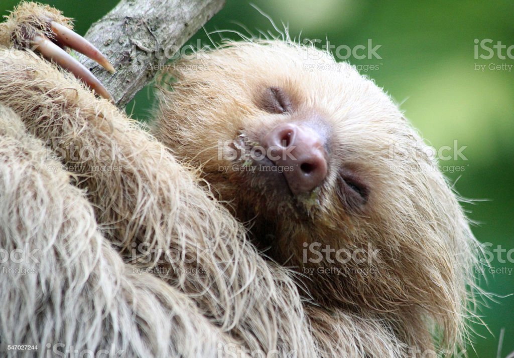 Two-toed Baby Sloth Close-up stock photo