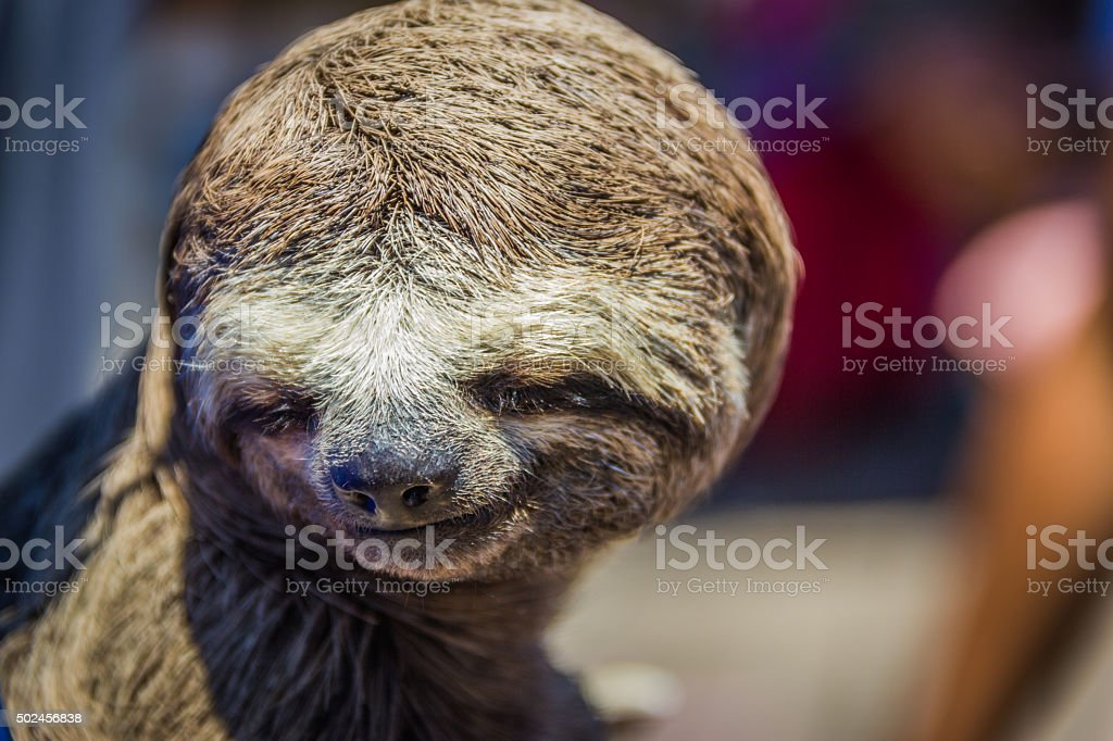 Two-toed sloth at Amazon Rainforest stock photo