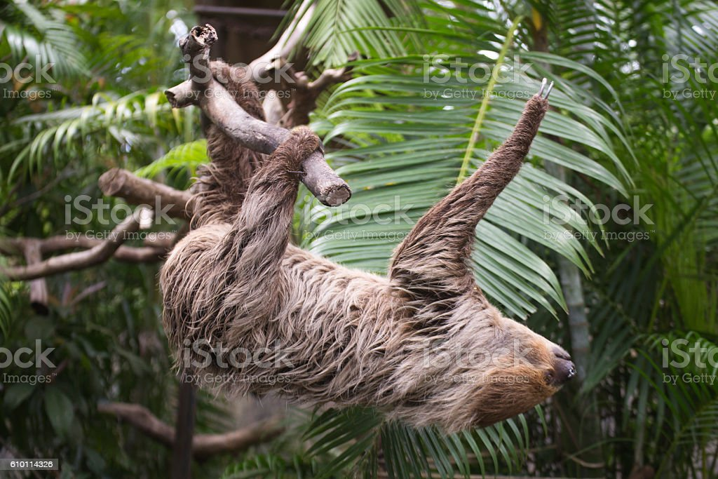 two-toed sloth climbing on the tree stock photo