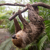 two-toed sloth climbing on the tree