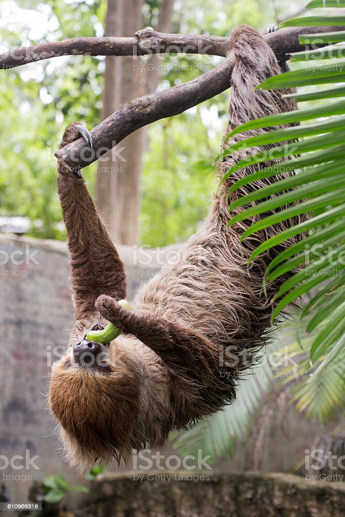 two-toed sloth eating cucumber stock photo