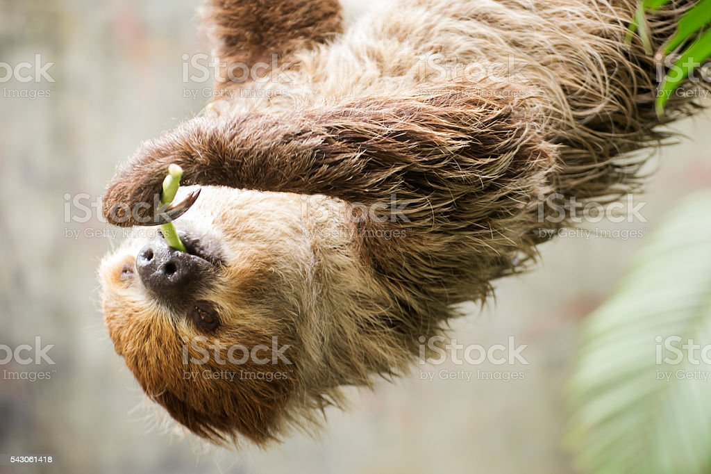 two-toed sloth on the tree eating lentils stock photo