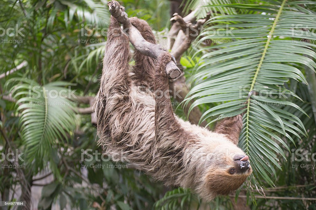 two-toed sloth on the tree stock photo