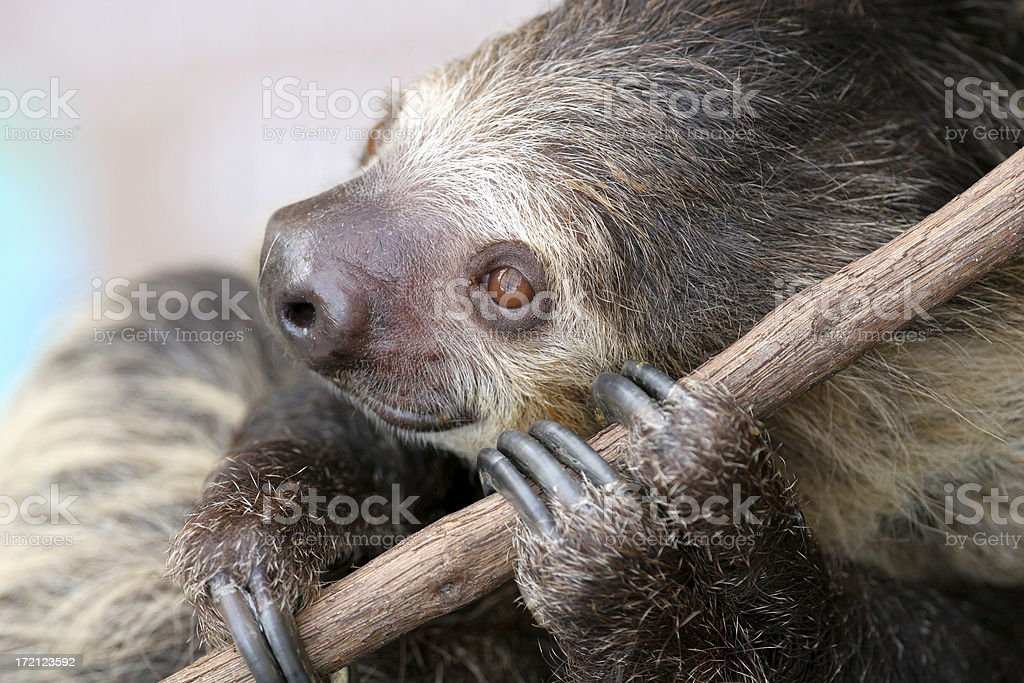 Two-Toed Sloth stock photo