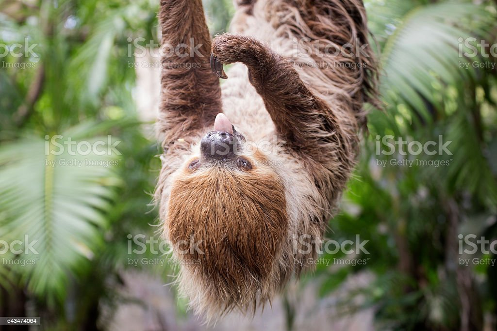 two-toed sloth show tongue on the tree stock photo