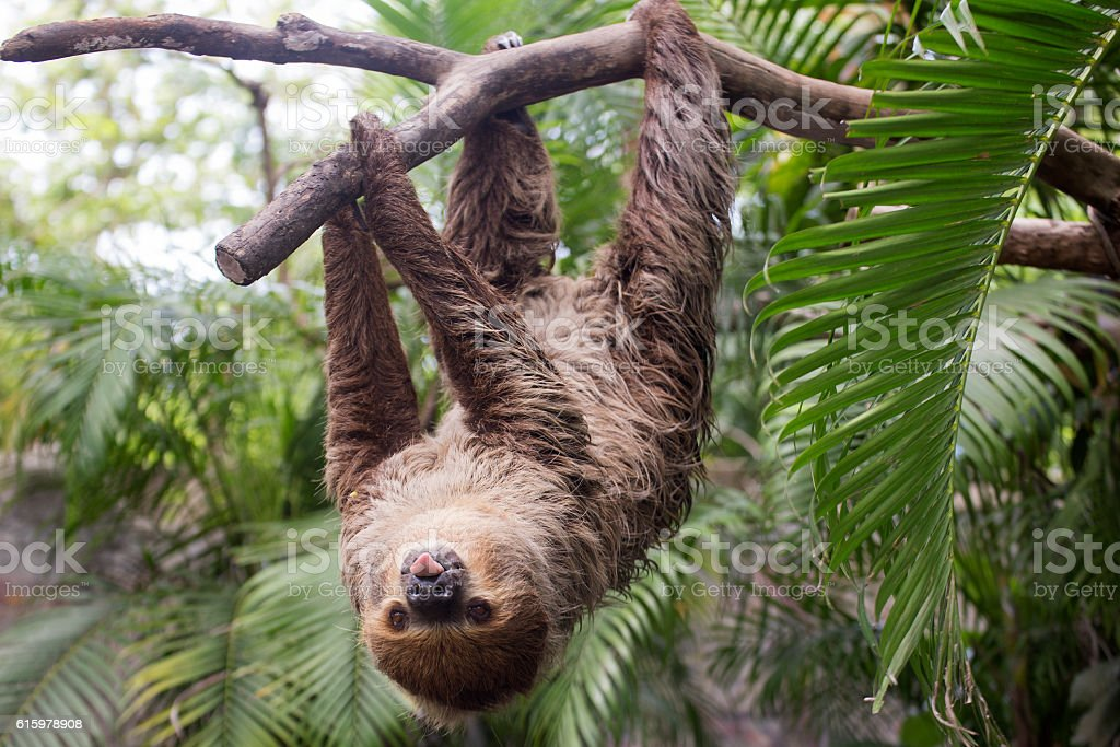 two-toed sloth show tounge stock photo