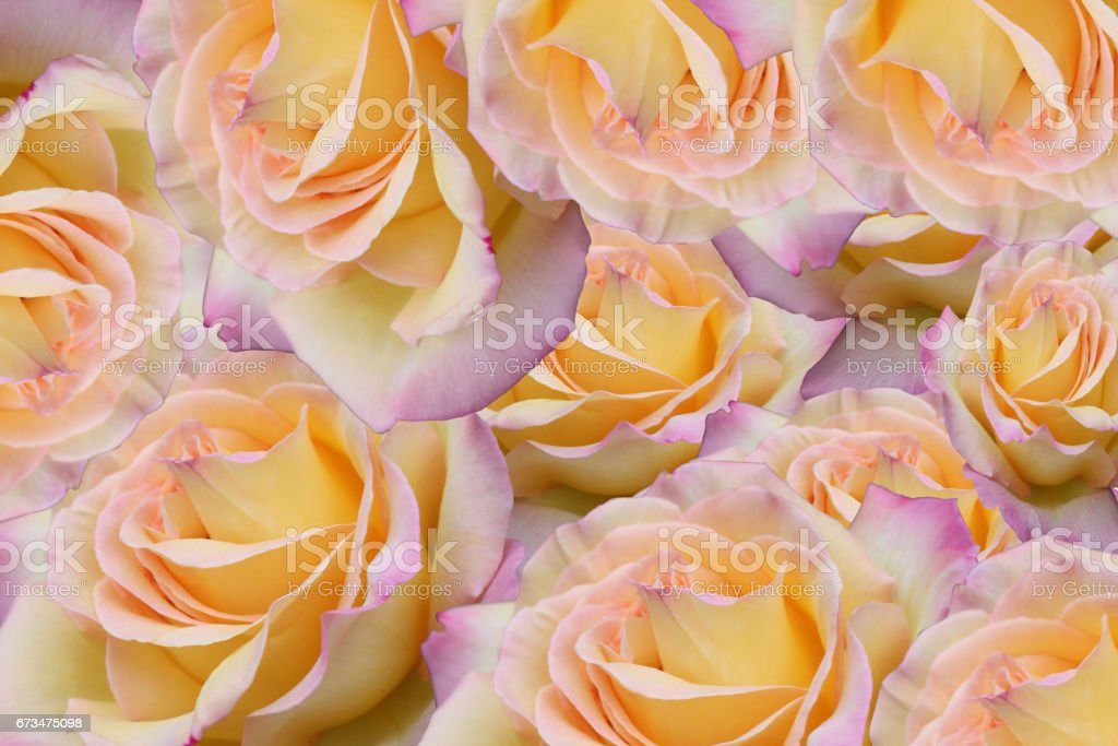 Rose bicolore - Motif floral stock photo