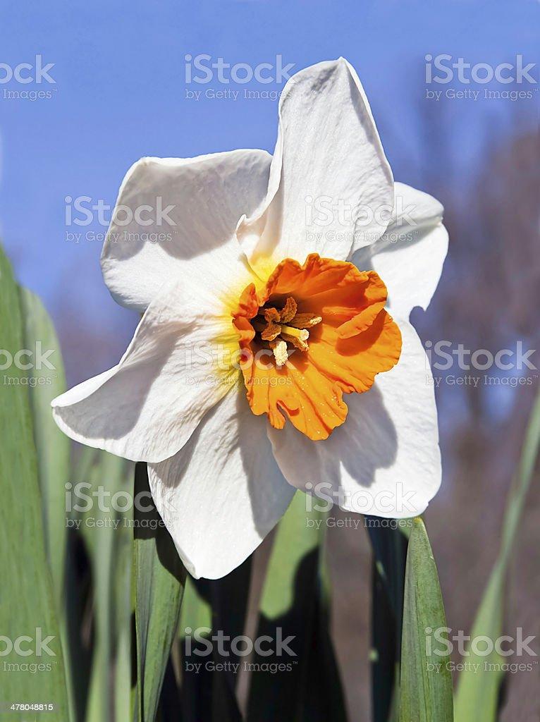 Due tonalità Narciso foto stock royalty-free