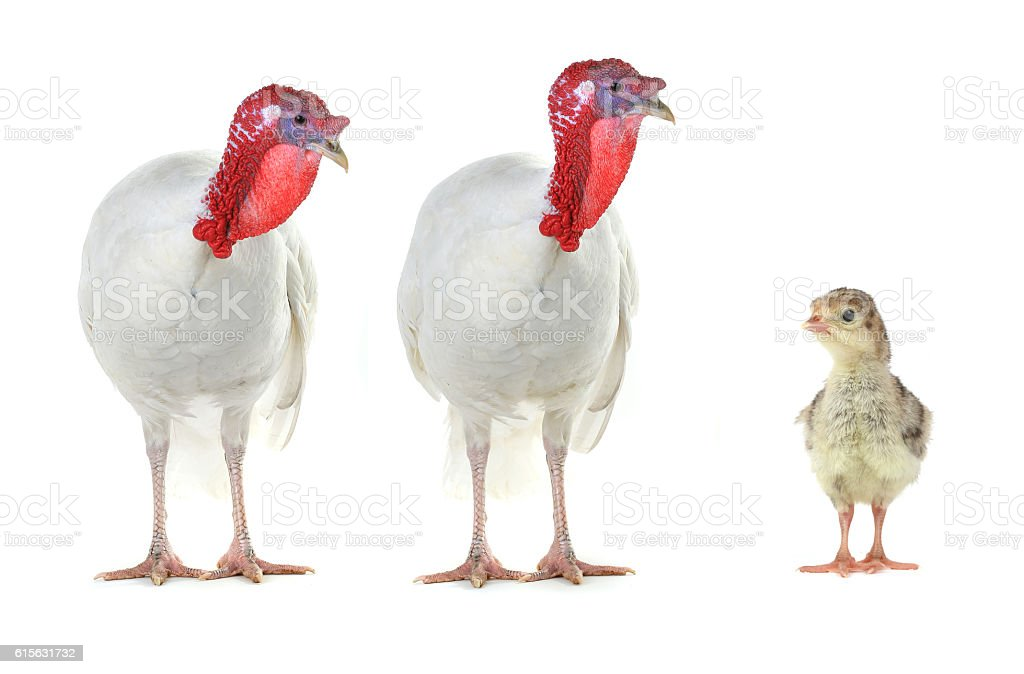 TwoTurkeys stock photo