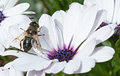 Type of Bee on White Flower