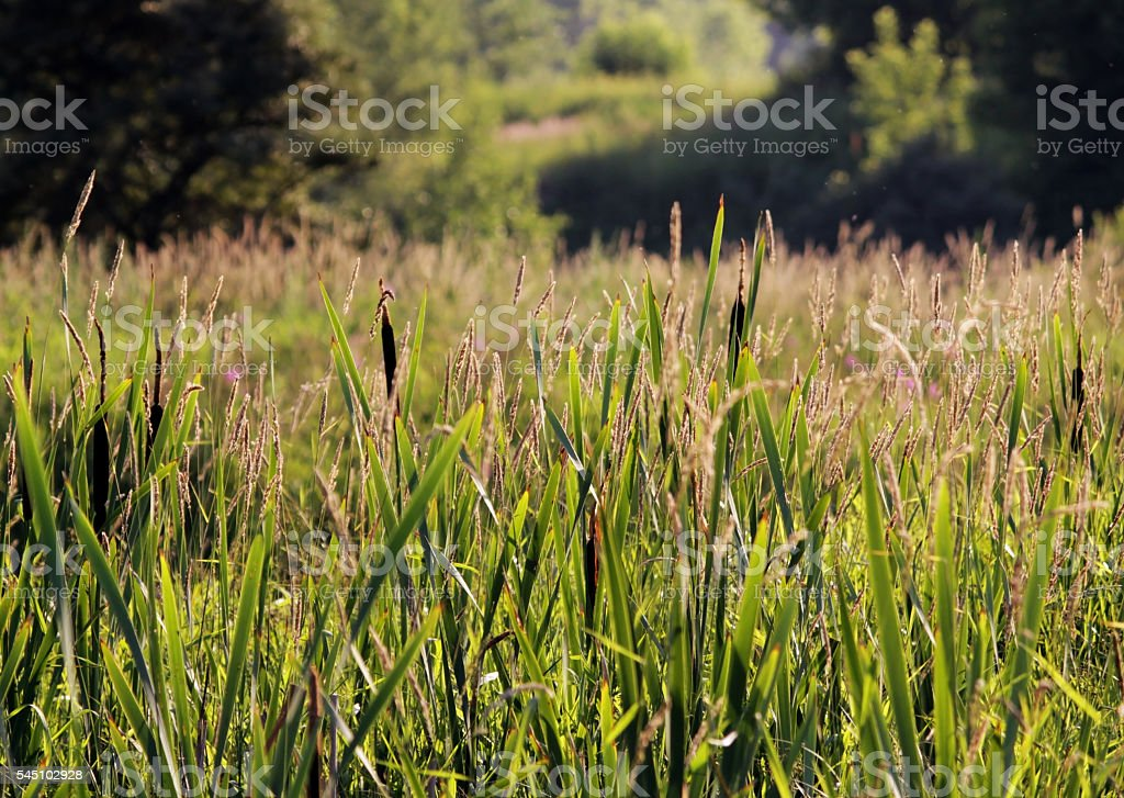 Typha and Chamerion angustifolium on background of green grass stock photo