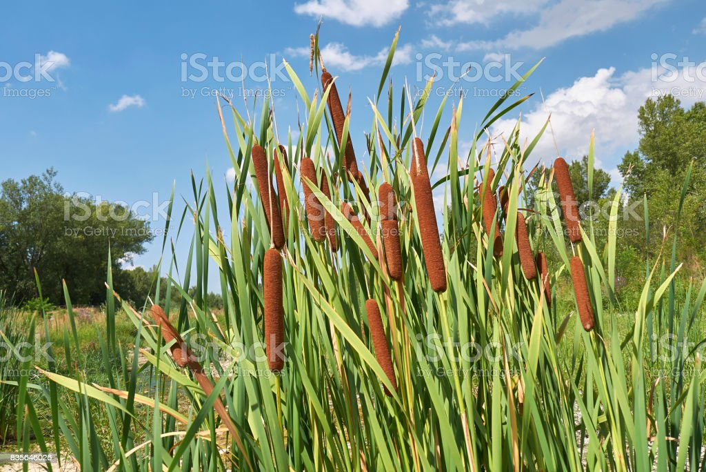 Typha latifolia stock photo