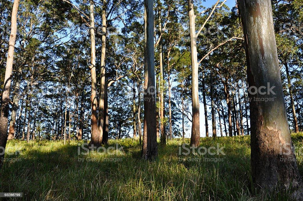 Typical Australian Eucalyptus Forest royalty-free stock photo