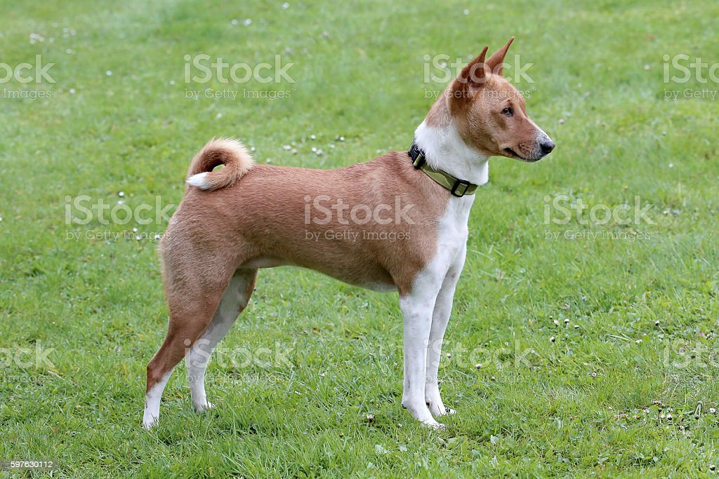 Typical Basenji Dog in the garden stock photo
