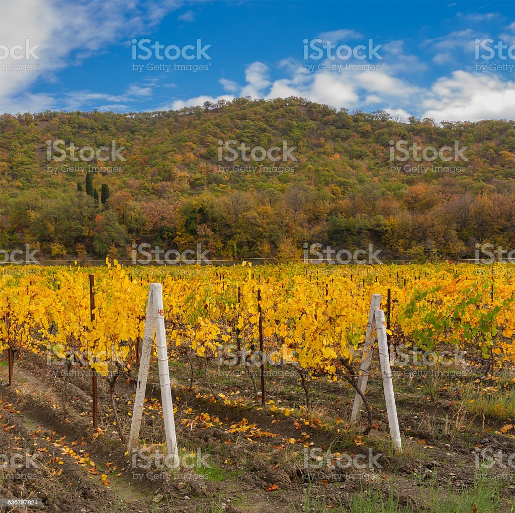 Typical Crimean landscape with vineyard at fall season stock photo