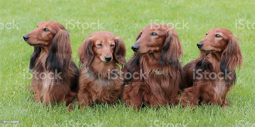 Typical Dachshund Long-haired Standard Red in the garden stock photo