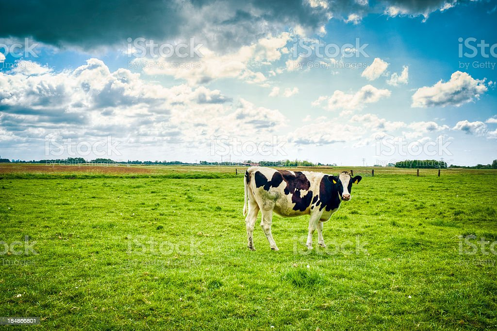 Typical Holland Cow In The Field, Netherlands royalty-free stock photo