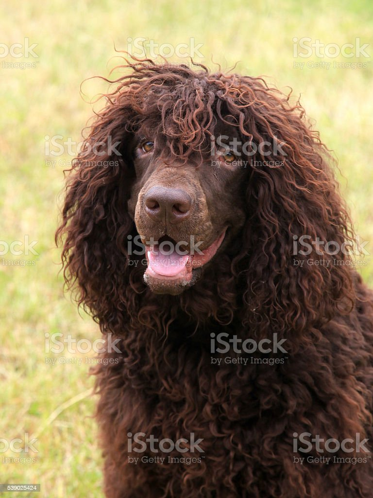 Typical Irish Water Spaniel on a green grass lawn stock photo