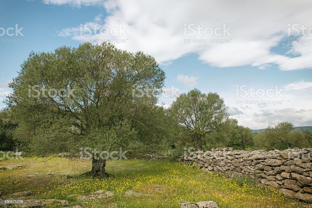 Typical Italian countryside: olive tree plantation stock photo