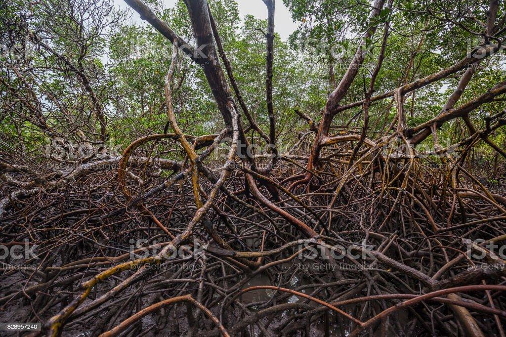 Typical mangoove at Jericoacoara beach, Ceara, Brazil stock photo
