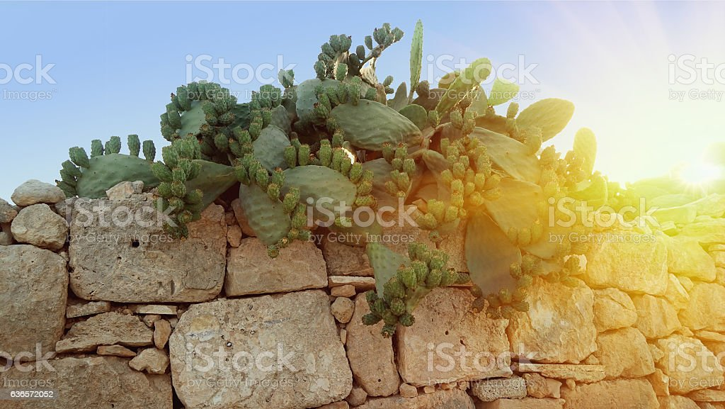 Typical Opuncia cactus bush with fruits of near the fence stock photo