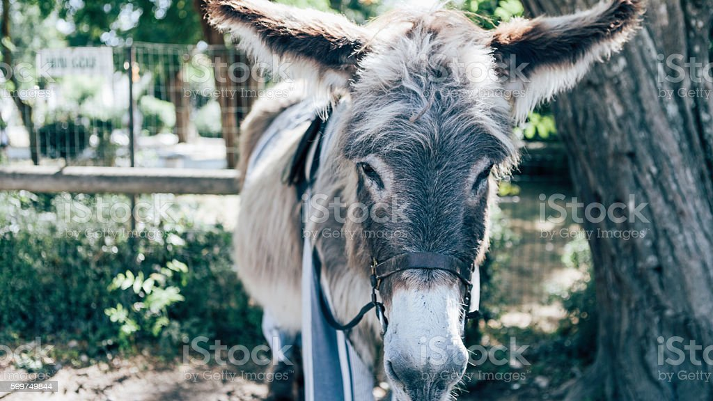 Typical Ré Island Donkey stock photo