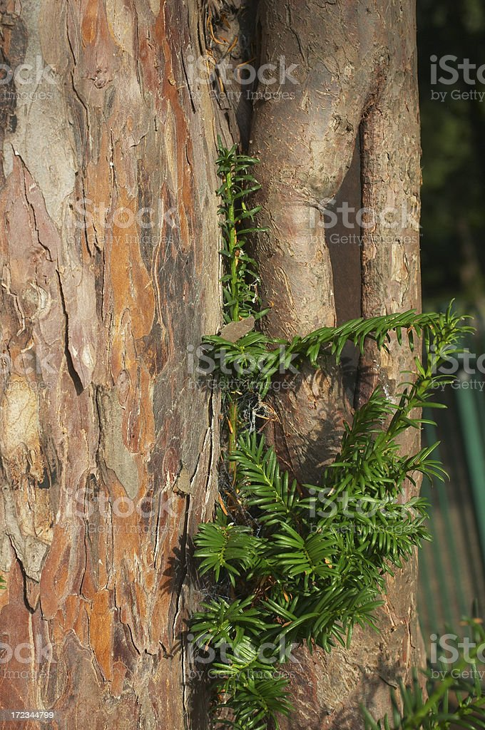 Yew tree bark trunk and evergreen leaves Taxus baccata stock photo