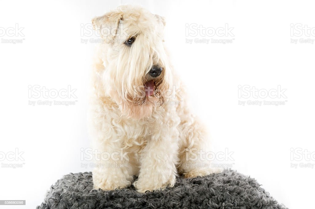 Typical soft coated wheaten terrier stock photo