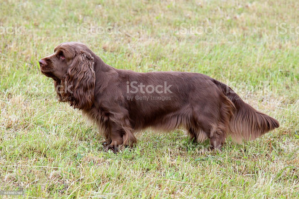 Typical Sussex Spaniel  on a green grass lawn stock photo