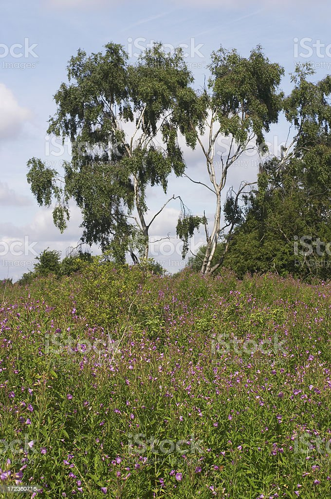 Down in the bog great willowherb stock photo