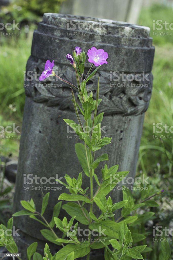 Great willowherb flowers Epilobium hirsutum in graveyard stock photo