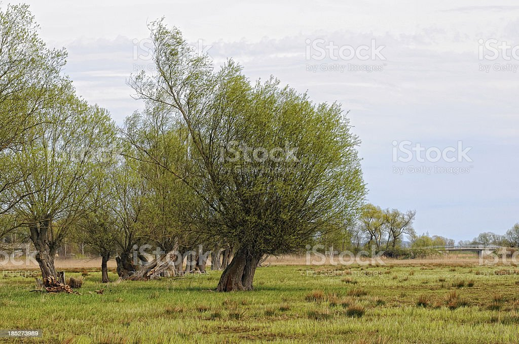 typical willow tree on meadow in Brandenburg (Germany) stock photo